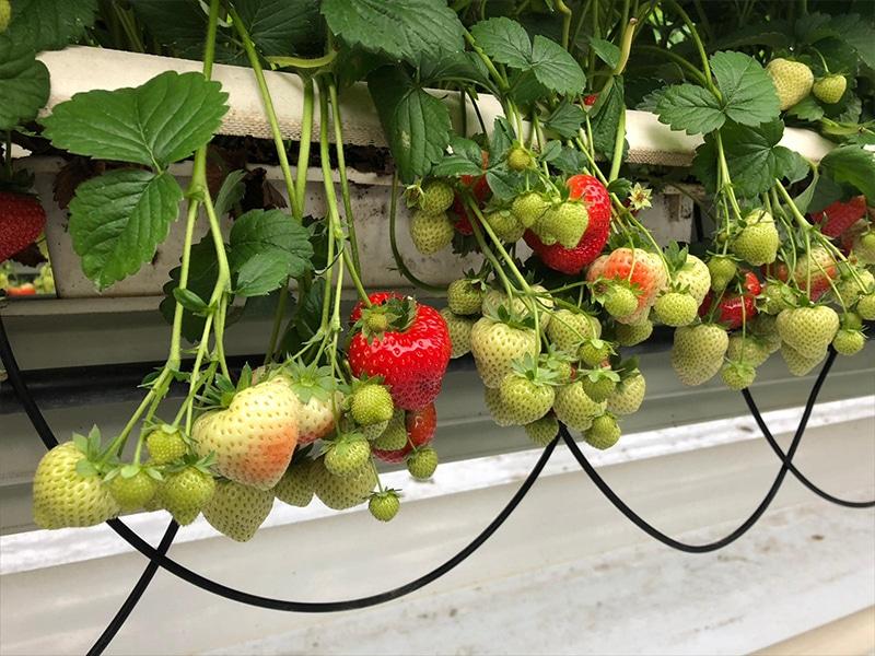 Kaiter Aardbeien Kom in de Kas Groepsbezoek